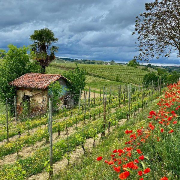 Mombirone vineyard